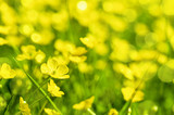 Field of yellow buttercup flowers in summer - 203057998