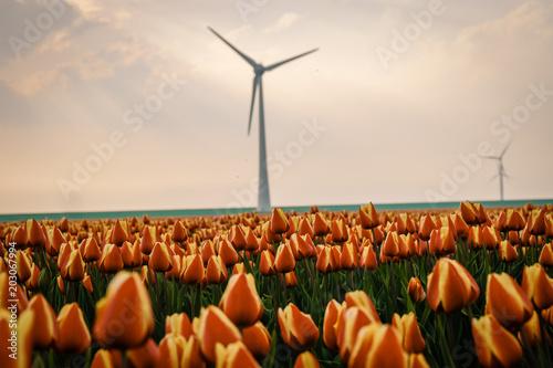 Plexiglas Tulpen colorful tulip field with windmills