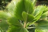 Fototapeta London - palma w ogrodzie botanicznym © agnieszkalll