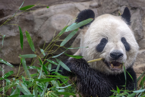 Plexiglas Panda giant panda while eating bamboo