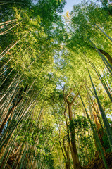 Bamboo forest shot against sky, Sakura city, Chiba, Japan
