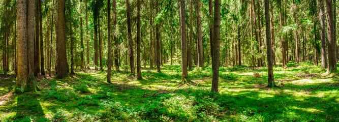 Wald Panorama Kiefer Bäume Natur