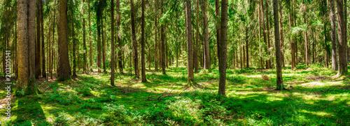 Fototapeta Wald Panorama Kiefer Bäume Natur