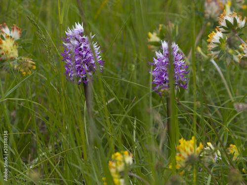 Plexiglas Lavendel Jacinthes sauvages