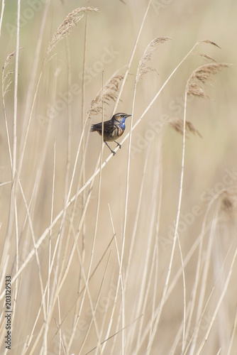 Bluethroat (Luscinia svecica) sitting on reed stem. Poster