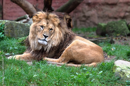 Fotobehang Lion Berberlöwe