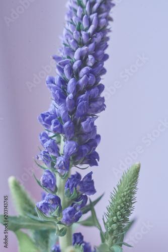blue small flower macro © fomenkodmitry