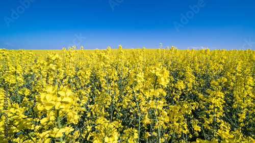 Fototapeta Flowering rapeseed in spring landscape. Brassica napus. Beautiful floral background of golden oilseed rape and azure blue sky. Idea of agriculture, farming, environmental protection.