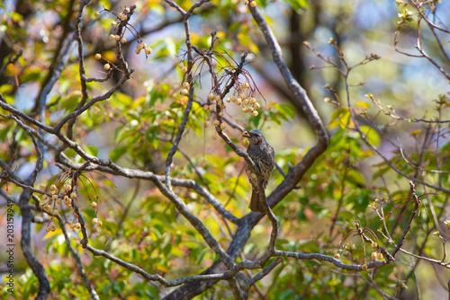 Fotobehang Berkenbos 野鳥 ヒヨドリ