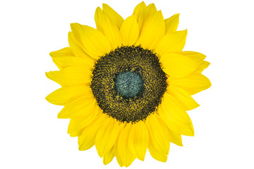 Sunflower with white background