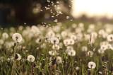 dandelions. wildflowers. white dandelions. - 203192572