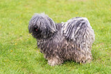 Gray hungarian puli dog in the park