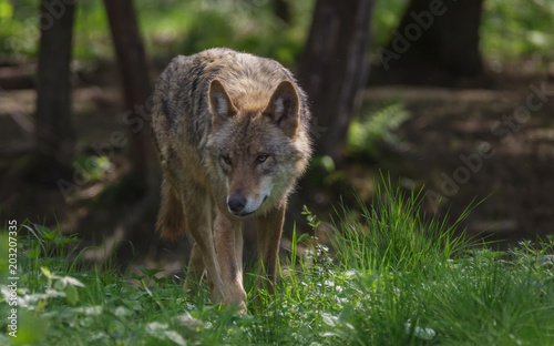 Fotobehang Wolf Wolves in forest Europe Germany