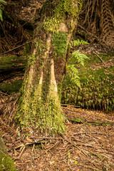 Julius River Rainforest, Tasmania