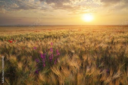 Meadow of wheat on sundown.