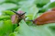 Leinwandbild Motiv snail with lettuce leaf
