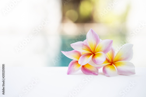 Plexiglas Plumeria Beautiful fresh colorful Plumeria flower over blurred garden, outdoor day light