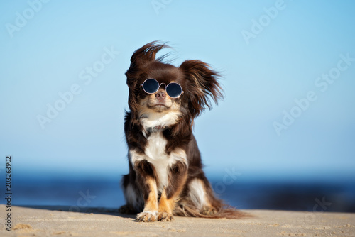 Leinwandbild Motiv funny chihuahua dog in sunglasses posing on a beach