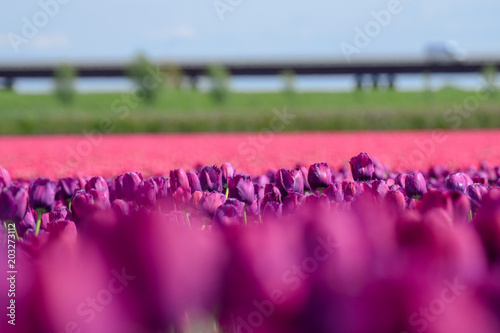 Aluminium Candy roze Field of purple and pink tulips in holland
