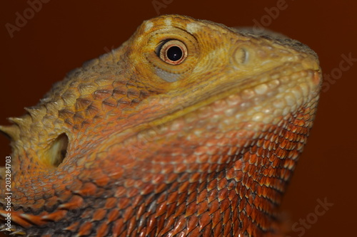 Fototapeta Bearded Dragon, pet, reptile, orange, lizard