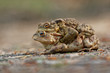 The common toad, European (Bufo bufo), is an amphibian found throughout most of Europe.