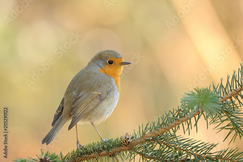 The European robin Erithacus rubecula in the spring Poster