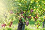 Vineyards at sunset during autumn harvest season
