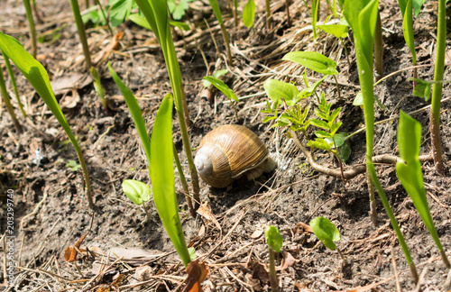 Aluminium Lelietjes van dalen Brown grape snail lying on the ground among young lily of the valley, selective focus.