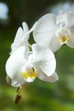 Fototapety Orchidee, Muttertag, Geburtstag, schön, Stillleben