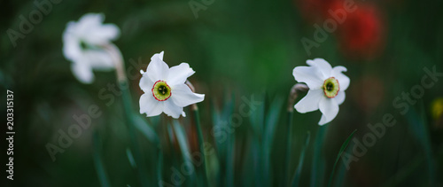 Foto Murales white daffodils are blooming in the flowerbed in the spring