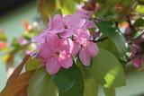 Ozdobna rajska jabłoń w rozkwicie