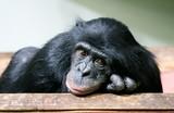 chimpanzee chimp (Pan troglodytes)