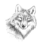 Sketch, graphics head of a wolf of black and white pen graphics - 203354112