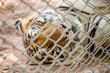 Tiger in thailand