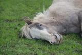 Fototapeta Horses - śpiący koń na pastwisku © agnieszkalll