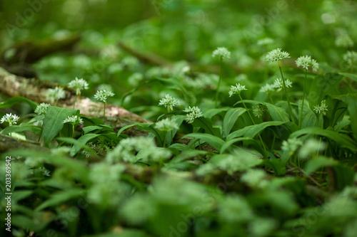 Plexiglas Lente Fresh, blooming wild garlic on the forest floor