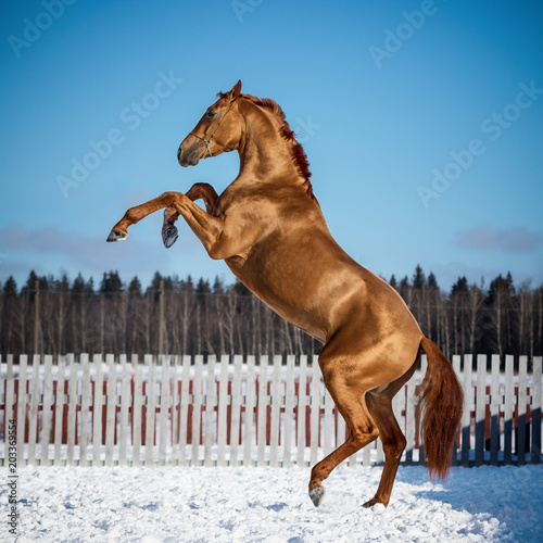 Red rearing horse on blue sky background isolated