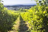 Row of beautiful grape yard before sunset with mountain - 203371186