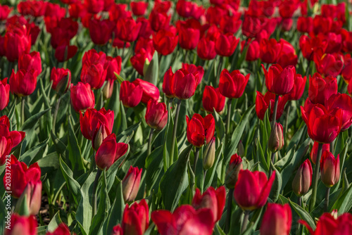Plexiglas Tulpen Field of bright red tulips - beautiful spring floral background