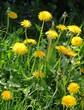 dandelions flowers on meadow at spring