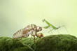 Mantis Photo Collections - Praying Mantis, Orchid Mantis, Dead-Leaf Mantis, Cobra Mantis, Baby Mantis