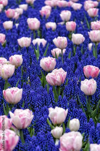 Tulipany Drownig w kolorze niebieskim
