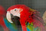 parrot, bird, macaw