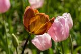 Tulips grown in a garden - 203407587
