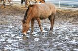 Przewalski wild horses - 203431194