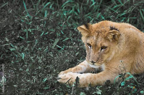 Fotobehang Lion portrait of a lion close-up