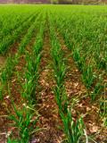 Garlic producing fields - 203433390