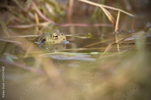 Plexiglas Kikker looking frogs