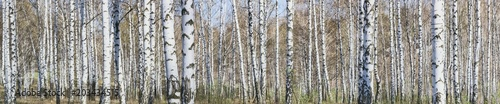 Fotobehang Berkenbos Birch grove on a sunny spring day, landscape banner, huge panorama