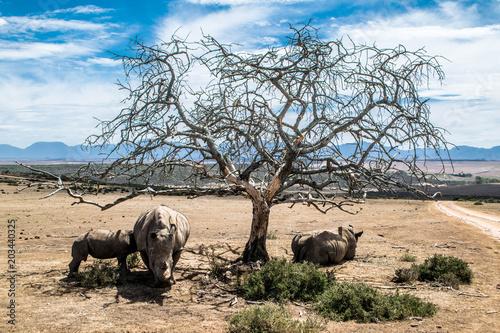 Fotobehang Neushoorn Nashörner unter einem Baum